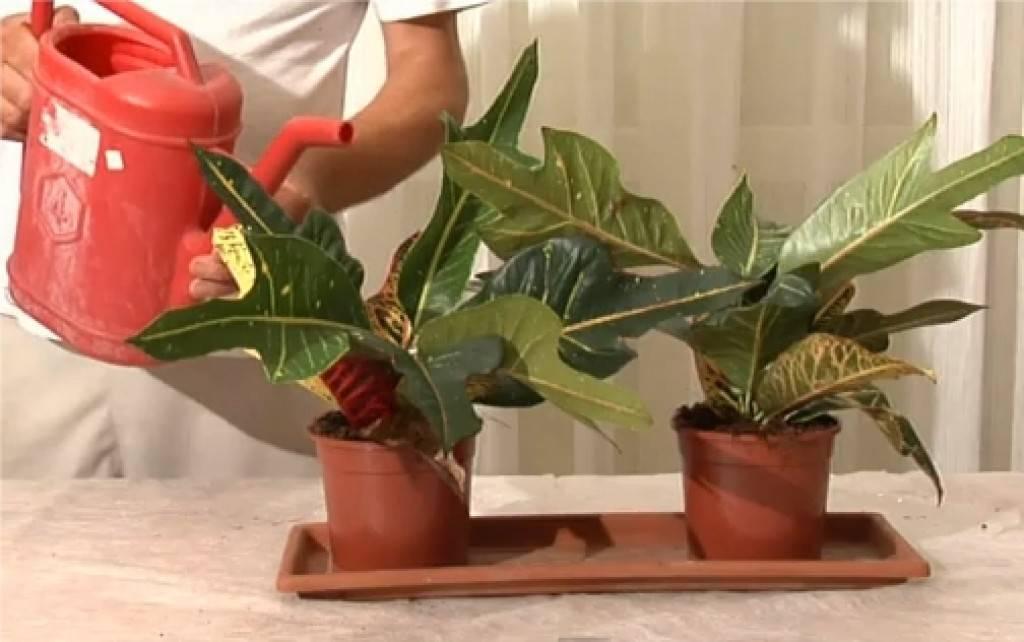 Пересадка кротона (кодиеума) в домашних условиях: почва для цветка, горшок