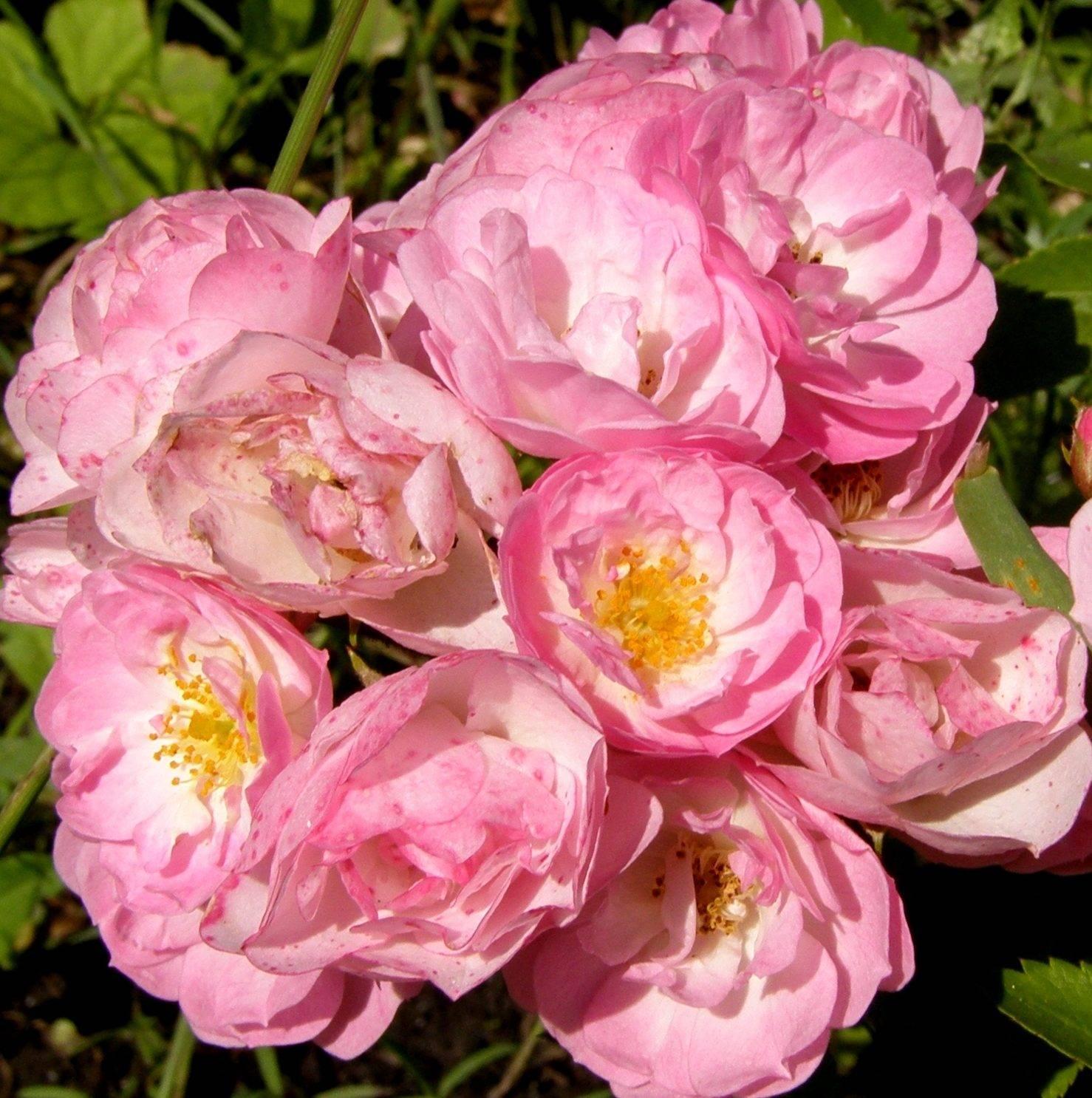 Мускусные розы - выращивание: от посадки до ухода