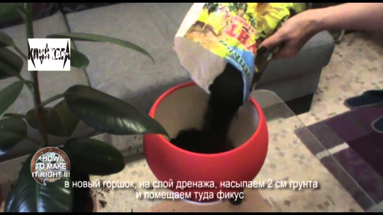 Диффенбахия: уход в домашних условиях