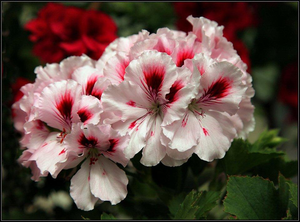 Почему не цветет пеларгония королевская: что делать, если она дает только листву и как заставить растение распуститься в домашних условиях, а также советы по уходу