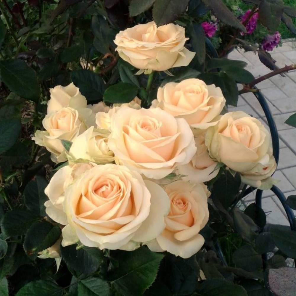 Описание и характеристики чайно-гибридной розы аваланж: виды этого сорта