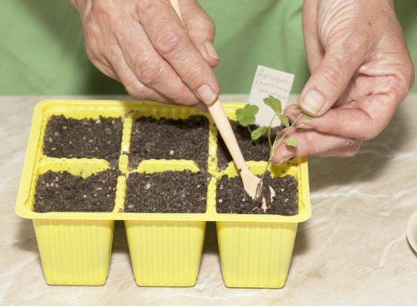 Цветок дицентра: выращивание из семян, посадка и уход, способы размножения