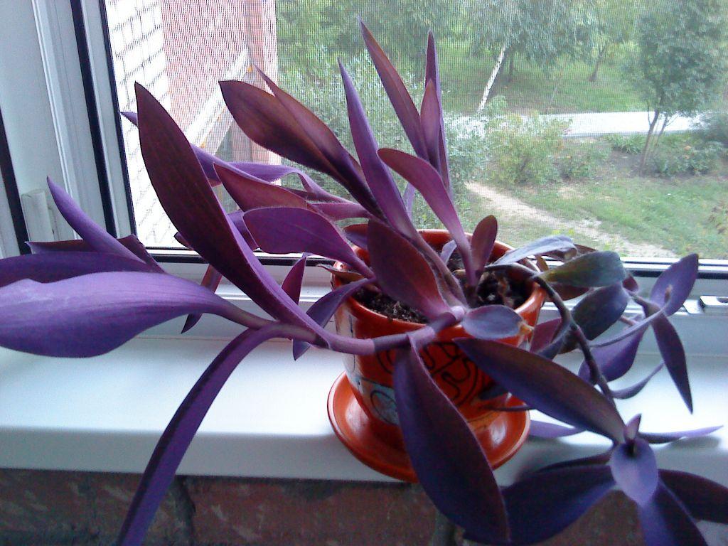 Как ухаживать за цветком рео в домашних условиях