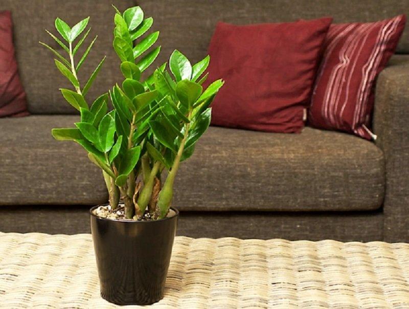 Замиокулькас (долларовое дерево): уход в домашних условиях, фото, польза и вред растения