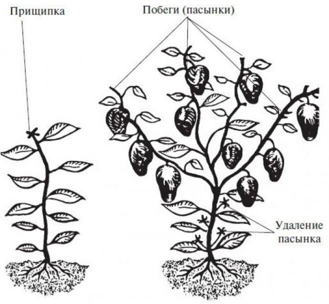 Проращивание клубней георгинов после зимы