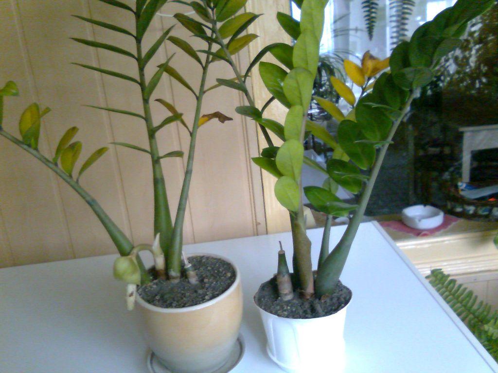 Какая земля нужна для замиокулькаса? какой готовый грунт лучше подходит для «долларового дерева»? как подготовить почву для пересадки в домашних условиях?