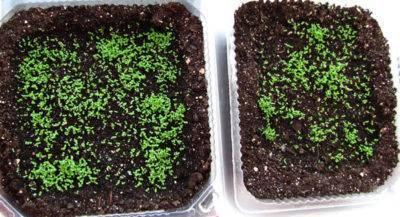 Камнеломка - особенности растения, посадка и уход