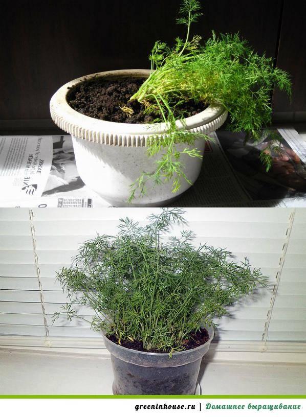 Укроп на подоконнике – как правильно выращивать укроп дома, чтобы добиться пышной зелени