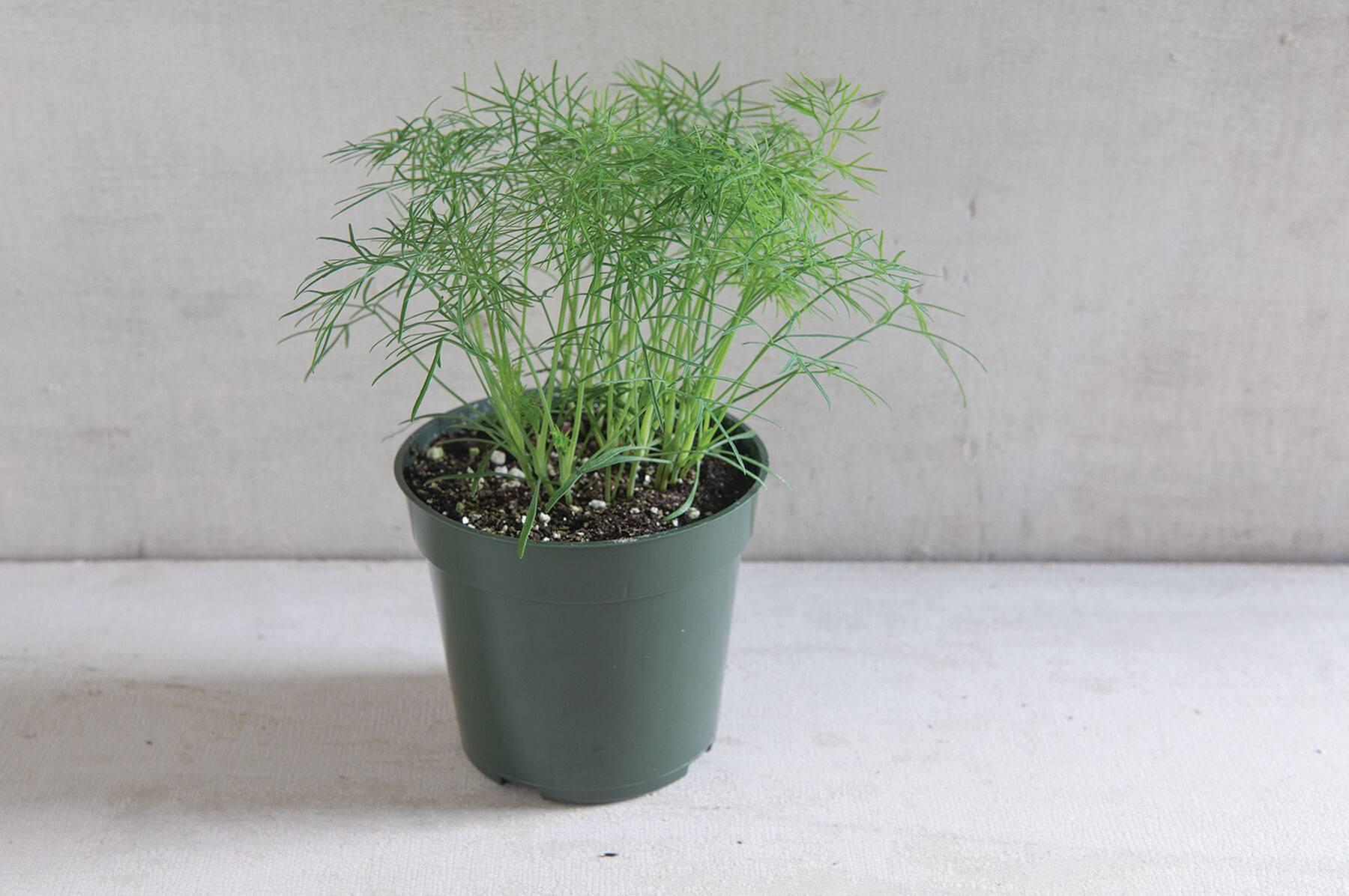 Выращивание укропа на подоконнике из семян: как посадить дома в квартире в горшке, можно ли зимой, сколько растет в этих условиях, почему лучше не сеять ранний сорт?