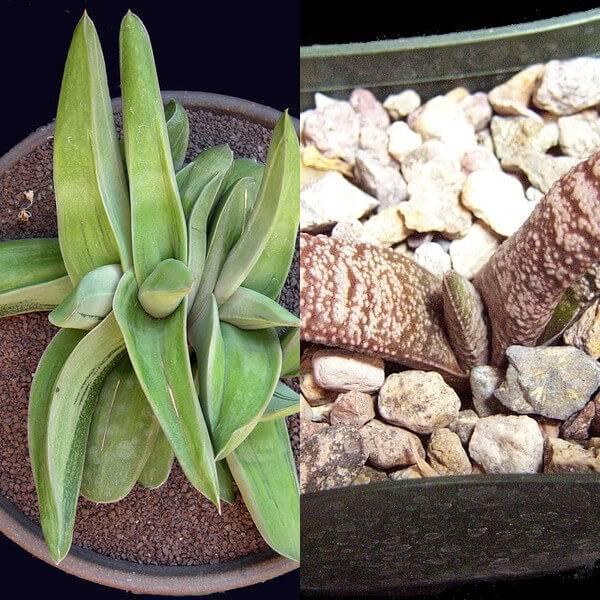 Комнатный цветок гастерия и хавортия: фото и названия видов растений