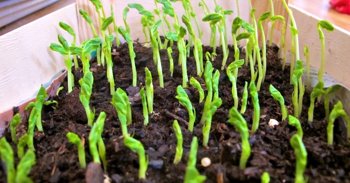 Овощ горох: посадка и уход в открытом грунте, фото, выращивание из семян, уборка и хранение