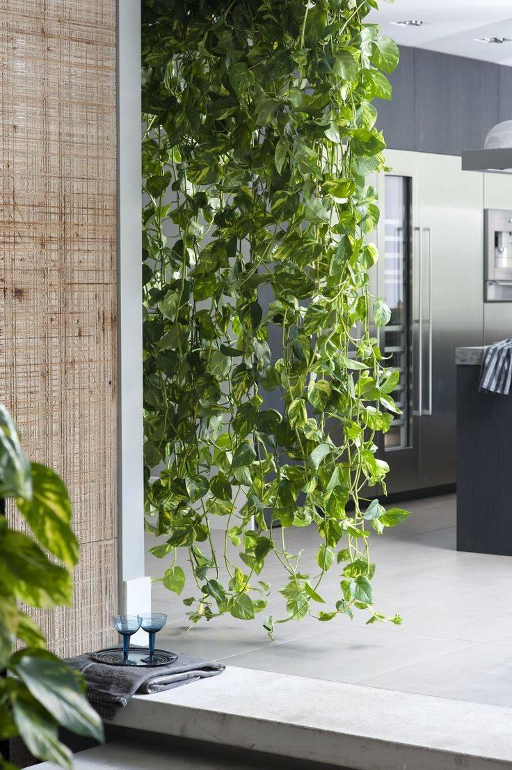 Комнатные вьющиеся растения: фото, названия, описание