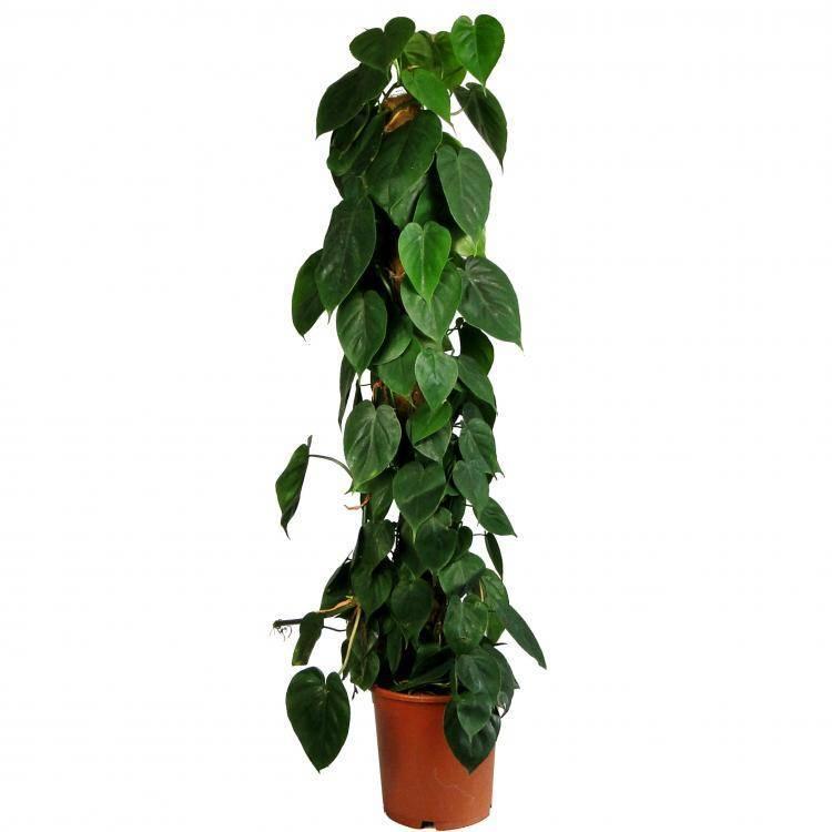 Какие бывают вьющиеся комнатные растения?
