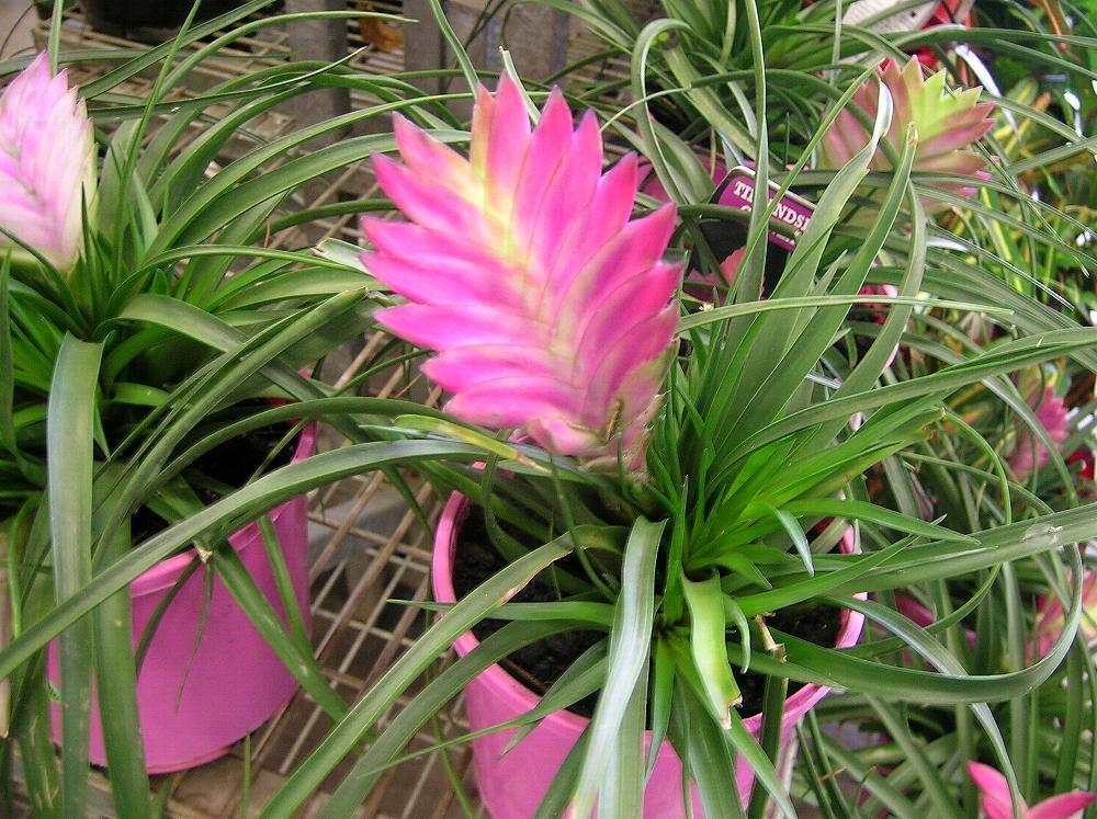 Цветок тилландсия: уход в домашних условиях, размножение и пересадка