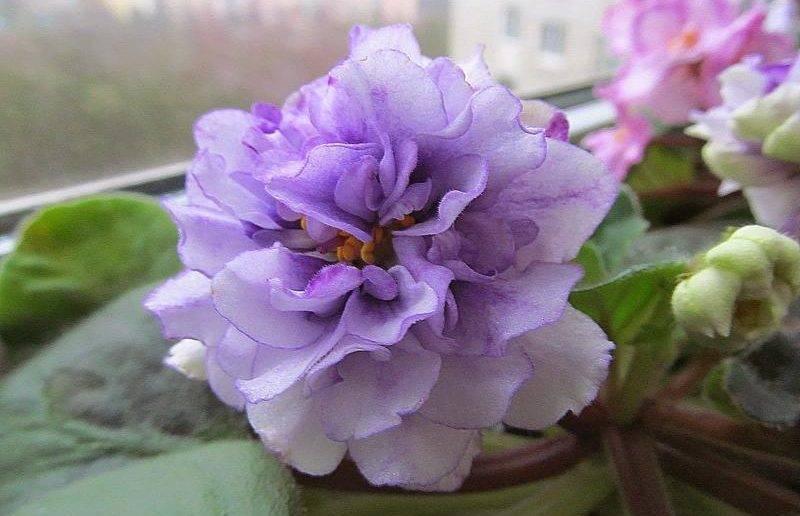Фиалки в доме: какие приметы таит скромный цветок
