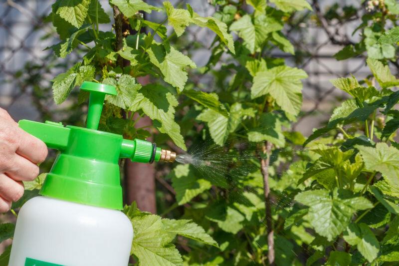 Из-за чего появляется хлороз гортензии и как его лечить