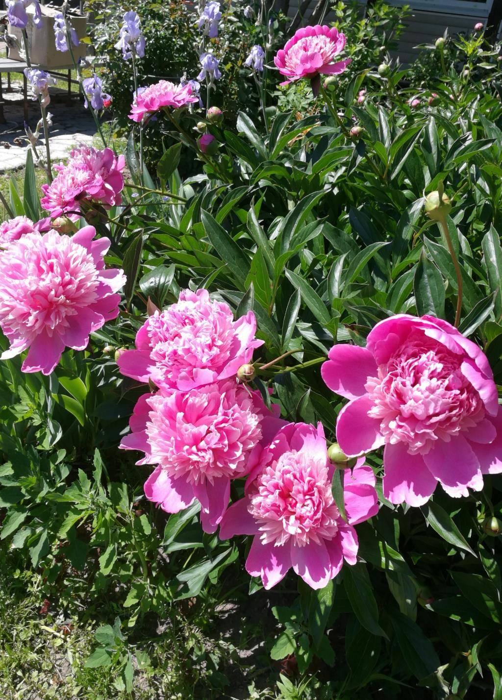 Пион канзас (paeonia kansas) — выращивание на садовом участке