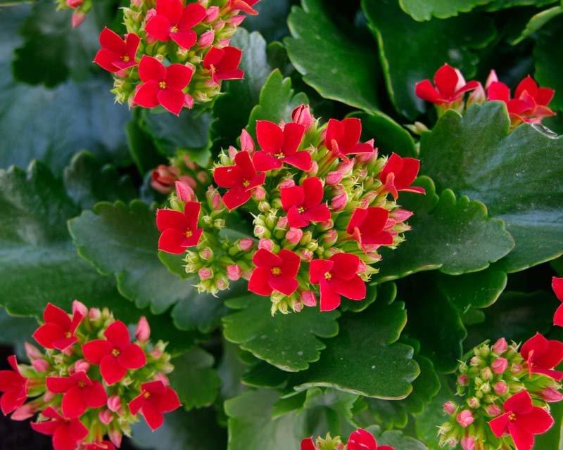 Комнатные растения с белыми цветами (28 фото): домашний гемантус белоцветковый и цветок, похожий на каллу, лиана и другие цветы