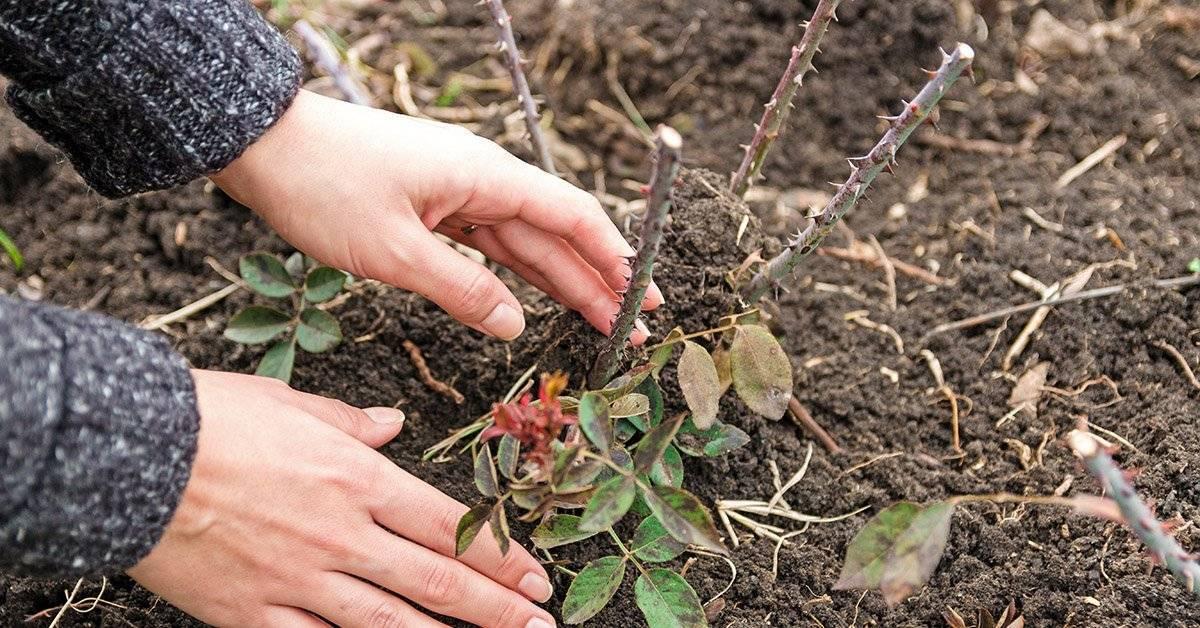Чем удобрять клематисы весной для пышного цветения. обрезка и подкормка клематисов весной — как ухаживать за растением после зимы? весенняя подкормка клематисов