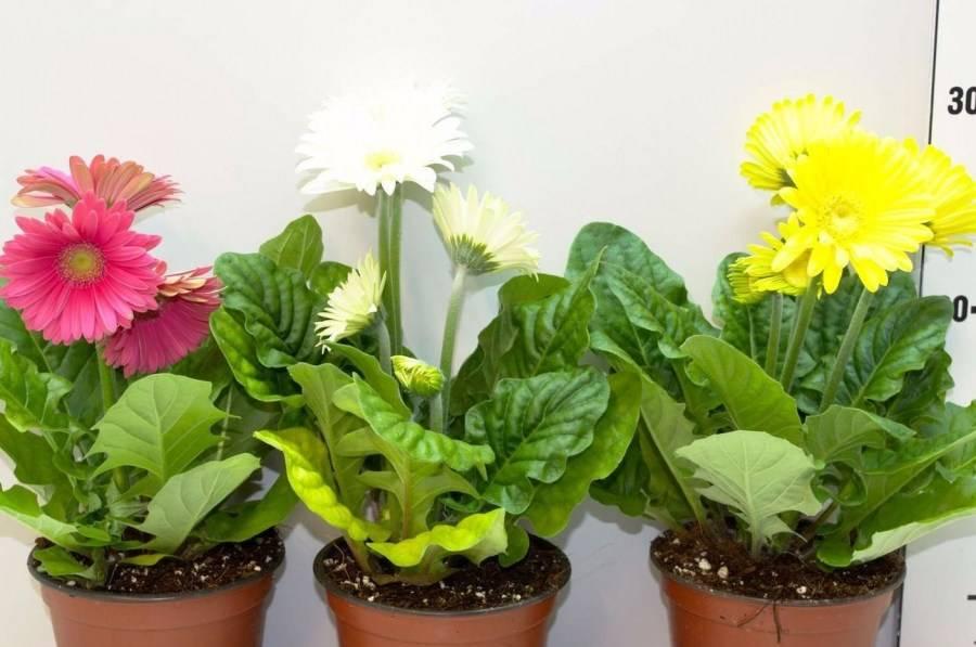 Правила ухода за герберой в домашних условиях: все нюансы и причины самых частых проблем с цветком