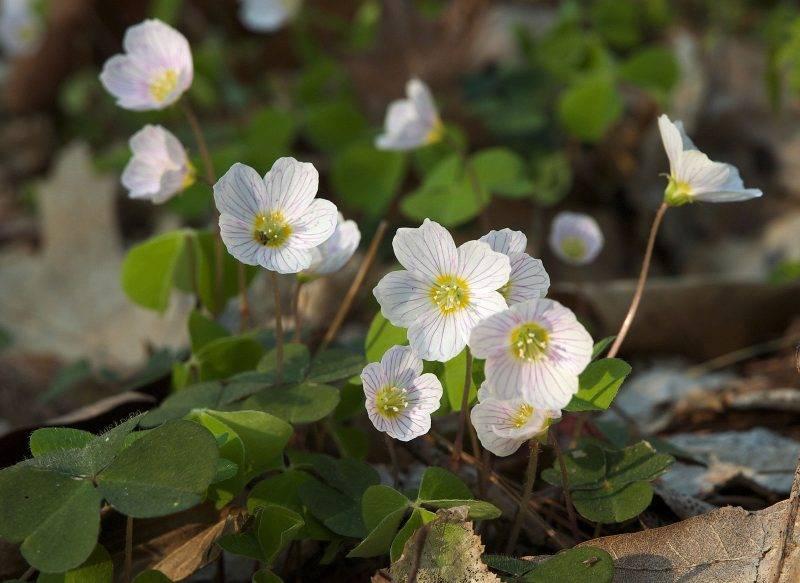 Кислица: описание и особенности цветка