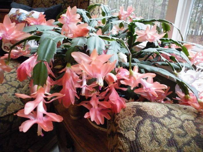 Цветок декабрист – описание, уход в домашних условиях