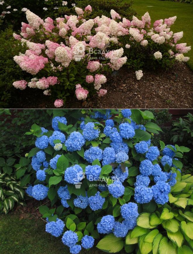 Древовидные гортензии: сорта, посадка в саду, уход и размножение