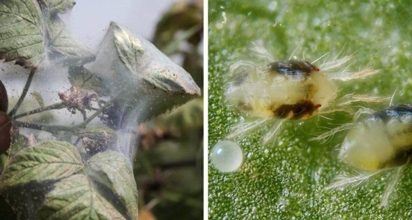 Все о болезнях пионов и их лечении: почему сохнут бутоны и скручиваются листья