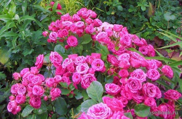 Описание английской кустовой розы сорта джульетта от селекционера дэвида остина