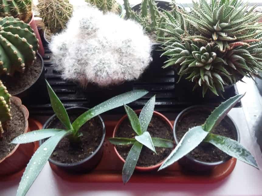 Великолепная и полезная агава! основные виды выращиваемые дома и уход за ними