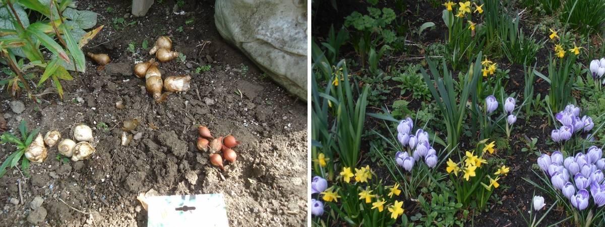 Весенние цветы крокусы: сорта крокусов с фото, посадка и уход за крокусами в саду