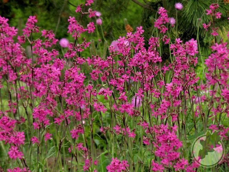 Многолетние садовые цветы лихнисы: разновидности, фото, посадка и уход