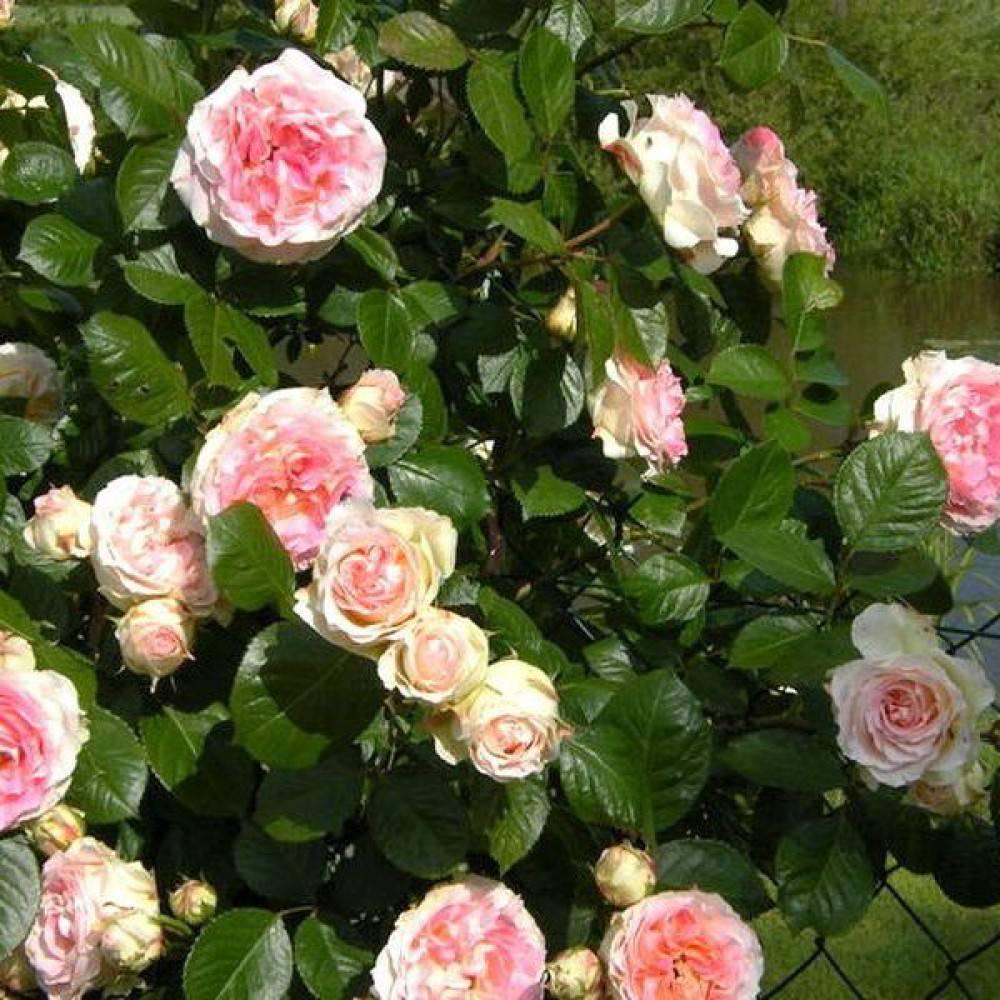 Характеристики сортовой плетистой розы эльф: посадка зимостойкого куста и уход