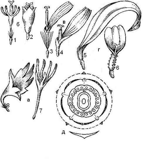 Яснотка: описание растения и особенности выращивания