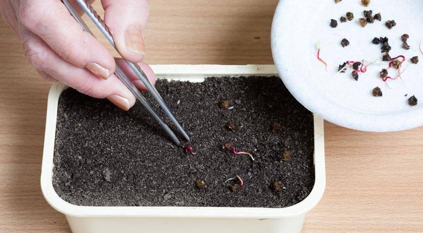 Выращивание лаватеры из семян в домашних условиях