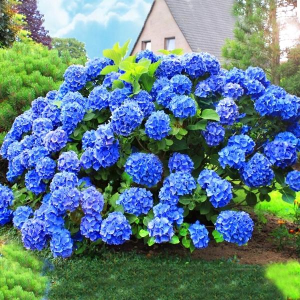 Гортензия голубая или синяя — посадка и уход в открытом грунте