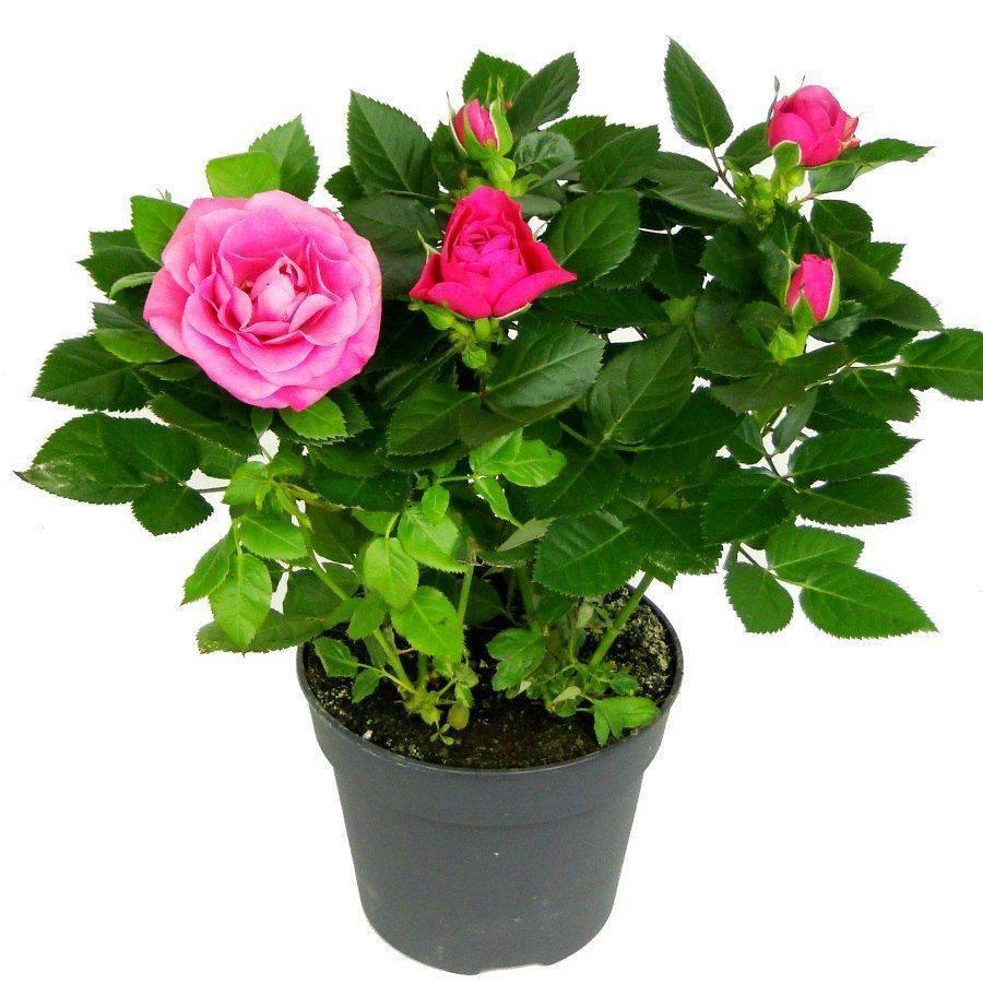 Уход за комнатной розой в квартире