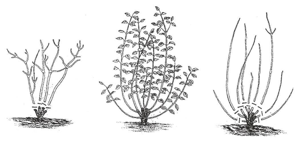 Спирея японская: описание сортов с фото, посадка и уход, размножение