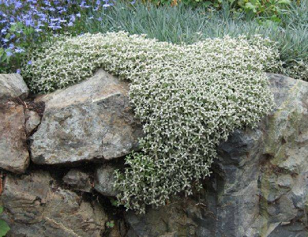 Ясколка (церастиум): фото и виды, посадка и уход за растением