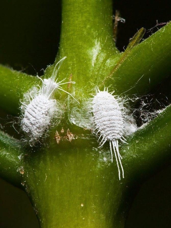 Тля на орхидеях - как бороться в домашних условиях? 7 фото причины появления белой тли. чем обработать орхидею, чтобы избавиться от тли?