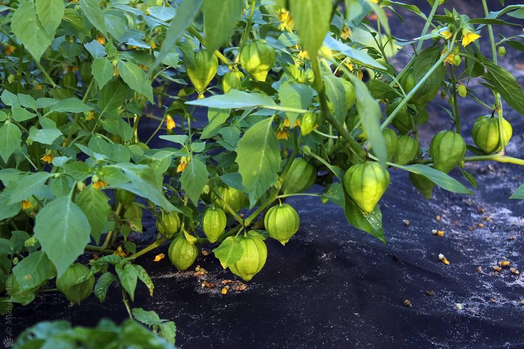 Выращивание и уход за съедобным физалисом: советы, фото