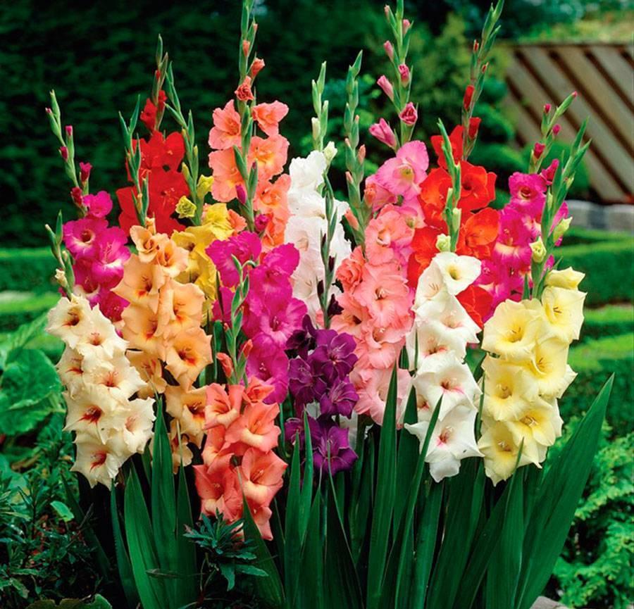 Цветы садовые лилии: когда цветут, как растут и выглядят в саду, какого цвета бывают