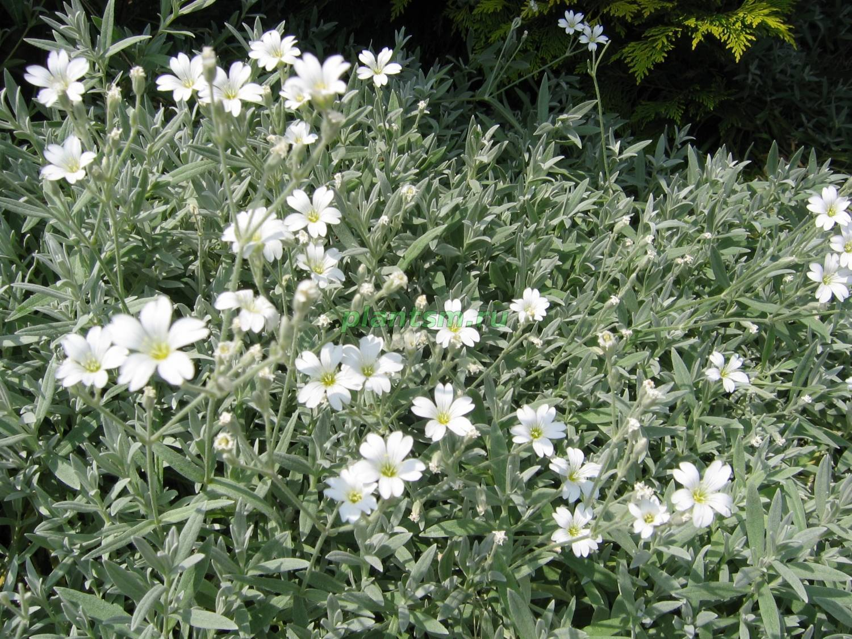 Ясколка — «балканский многолетник»: посадка, выращивание и уход