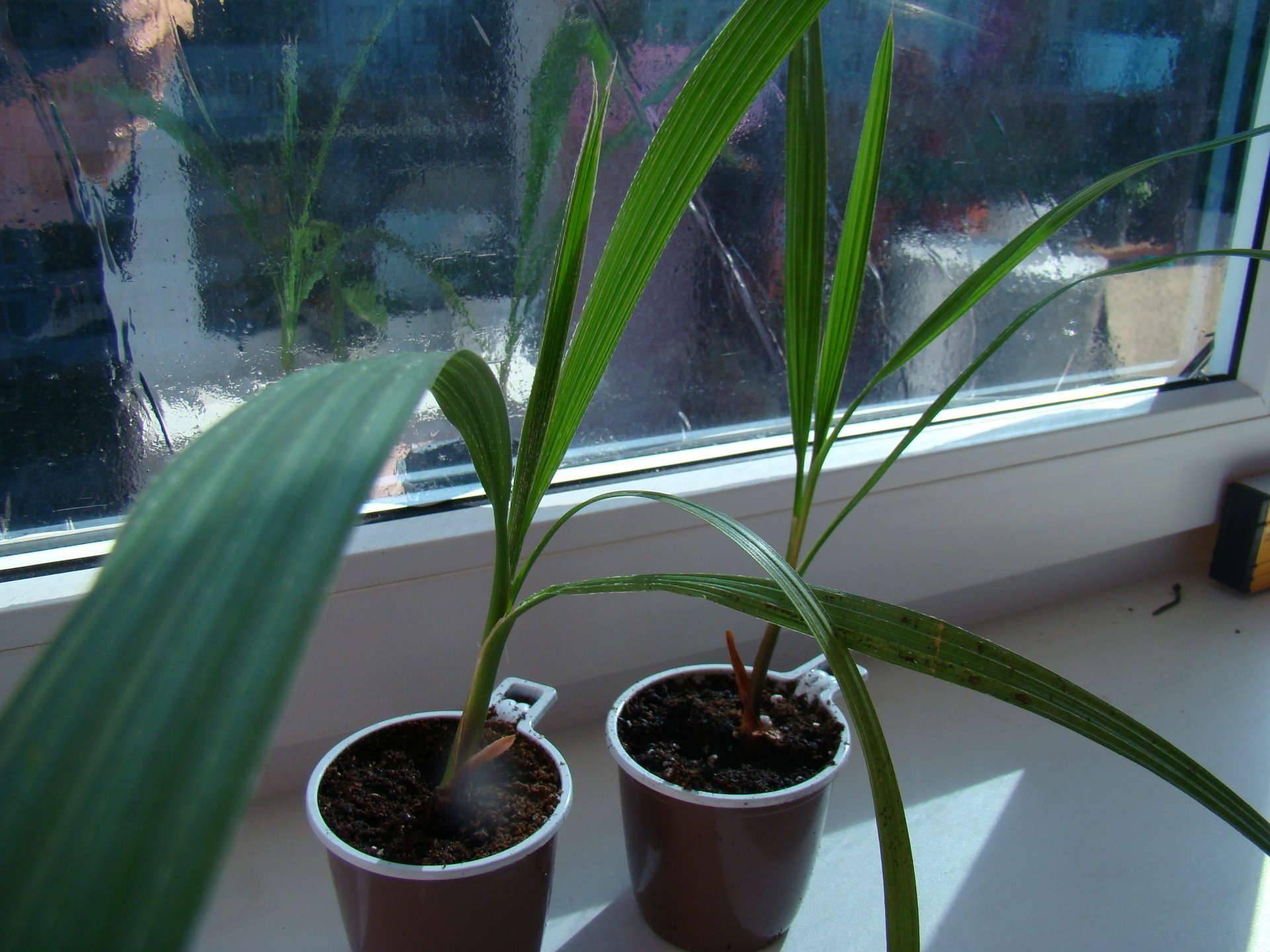 Выращивание пальмы вашингтония