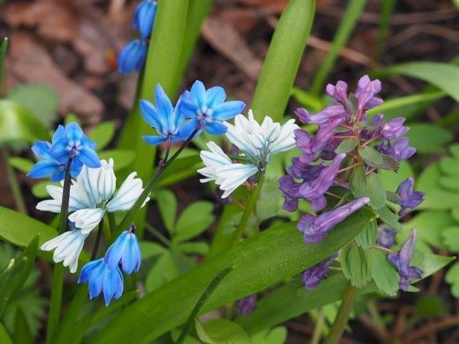 Как ухаживать за сциллой: чем отличается летнее содержание от зимнего, и как добиться цветения весной