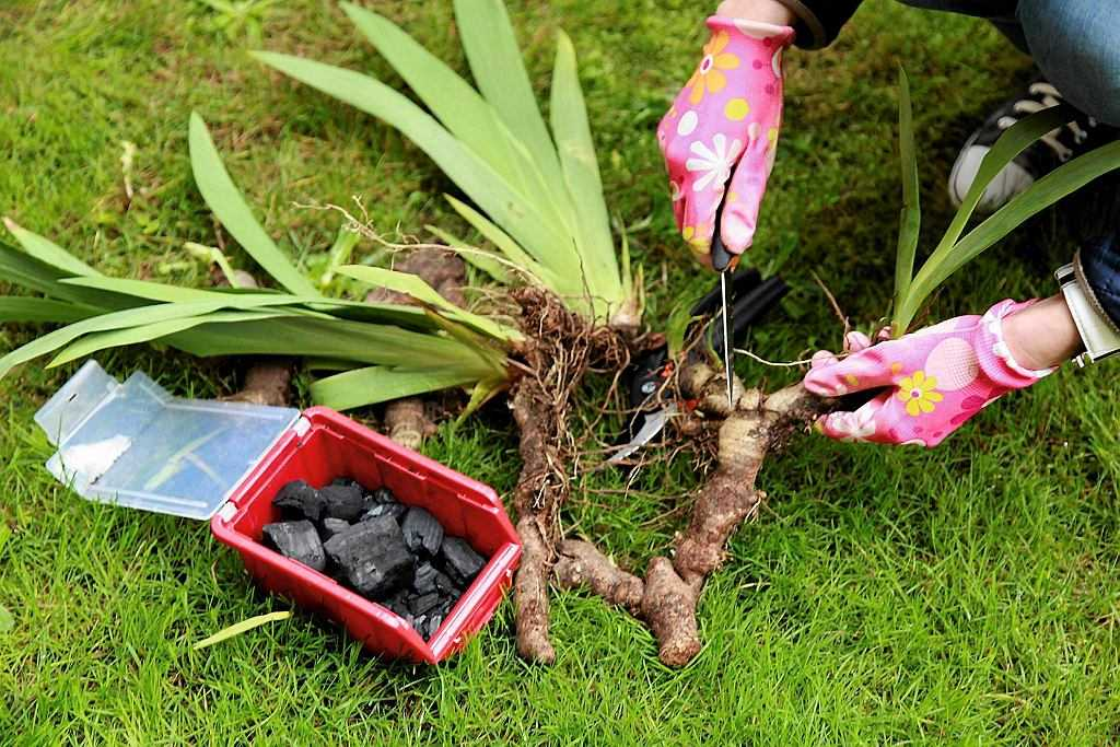 Дицентра (57 фото): посадка и уход в открытом грунте, великолепная и красивая, сорта и виды, «валентина». как пересаживать?
