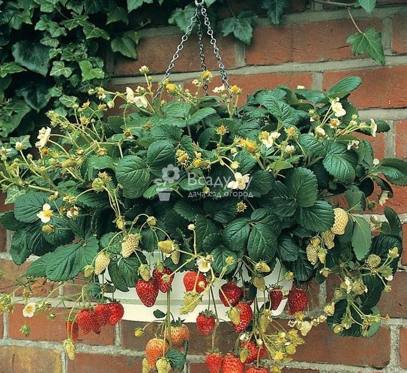Ампельная клубника - характеристика, описание по уходу и выращиванию клубники (135 фото)