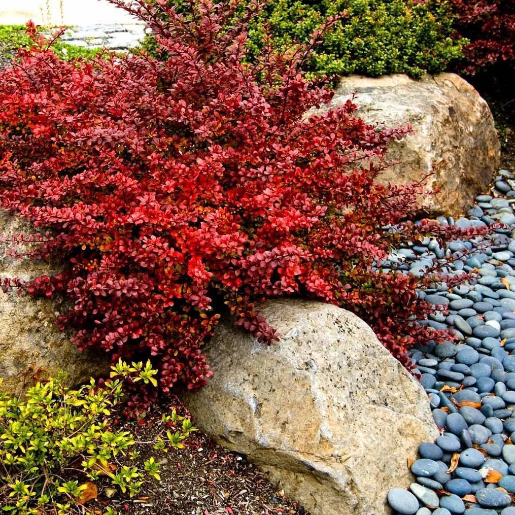 Барбарис тунберга 'атропурпуреа нана' в дизайне сада, фото, посадка, выращивание, уход, применение