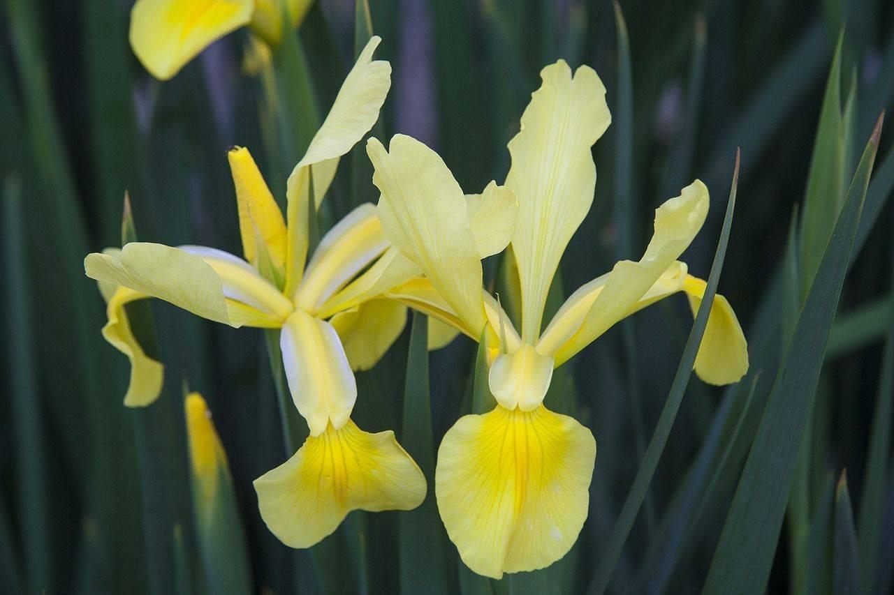 Белые ирисы (35 фото): сорта цветов с фиолетовым, синим и голубым, сиреневым вкраплением