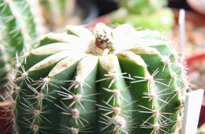 Селеницереус (25 фото): характеристика кактуса «царица ночи». особенности ухода за селеницереусами крупноцветковыми, энтони и другими разновидностями